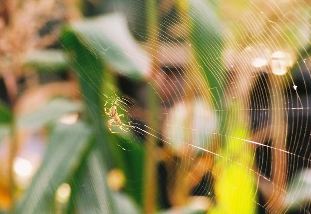Spider in our garden